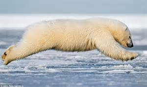 polar bear cub jumps  frozen alaskan waters   swim