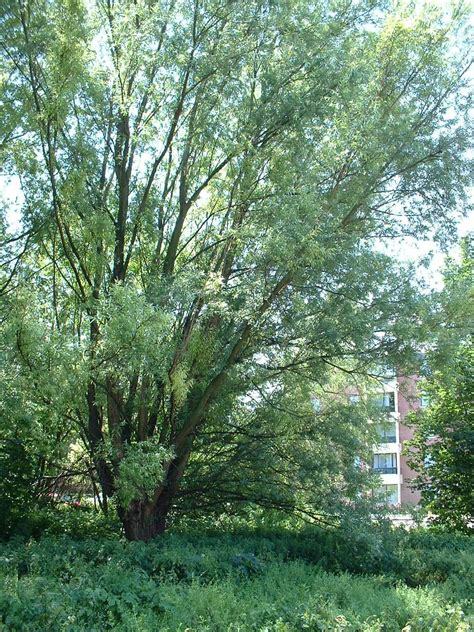 Saule blanc, Evere, Avenue Henry Dunant (Salix alba ...