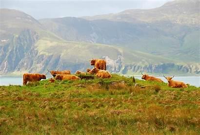 Highland Jura Isle Scotland Scottish Cow Cattle