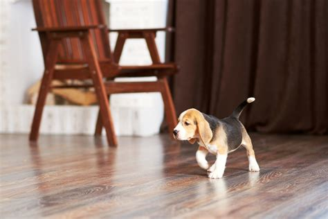 best hardwood floors for dogs dogs nails on hardwood floors 28 images nail 7704
