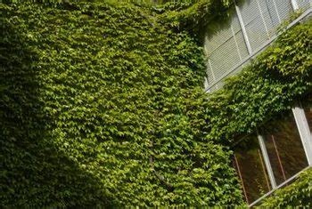 Fastgrowing Ivy For Climbing A Brick Wall  Home Guides