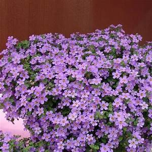 Bacopa - Gulliver Blue Sensation | Friends School Plant Sale