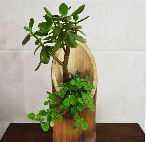 bambu in vaso vaso vertical de bambu suculentas jardim de perto elo7