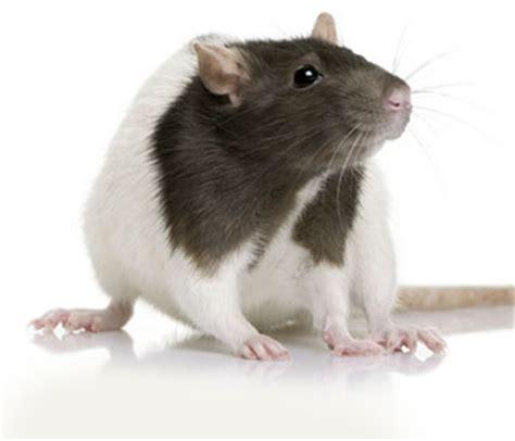 rat en anglais vocabulaire anglais les animaux de la ferme farm animals anglais facile cours et exercices