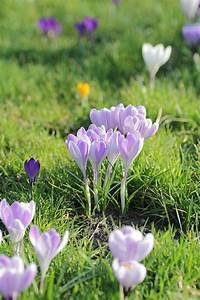 Wann Blühen Krokusse : die besten 17 ideen zu krokusse pflanzen auf pinterest fensterdeko fr hling fensterdeko ~ Eleganceandgraceweddings.com Haus und Dekorationen