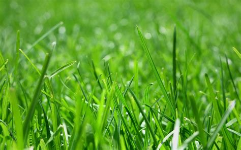 lawn  turf blend great basin seeds