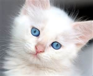 white cats with blue kitten pictures with blue white kitten who has