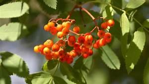 Baum Mit Roten Beeren : eberesche auch als vogelbeere und vogelbeerbaum bekannte pflanze mit roten beeren ~ Markanthonyermac.com Haus und Dekorationen