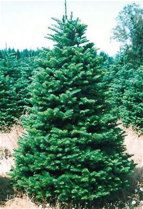 Top Live Christmas Trees by Noble Fir Christmas Trees Buy Wholesale From Holiday