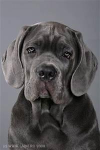 Cane Corso Growth Chart Pets Pinterest Dog Animal
