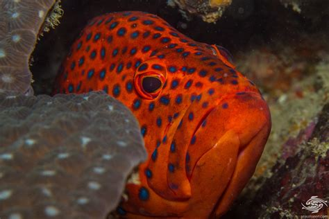 rock cod coral grouper miniatus seaunseen hind photographs facts mouth