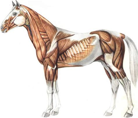 horse anatomy equine stretching muscles anatomia anatomie workshop cheval animal pferd cavalo muscle stretch google aparell hipica els study tendons