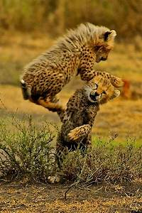 17 Best images about cheetahs on Pinterest | Friendship ...