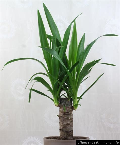 yucca palme ableger yucca gigantea