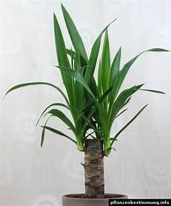 Yucca Palme Winterhart : yucca gigantea ~ Frokenaadalensverden.com Haus und Dekorationen