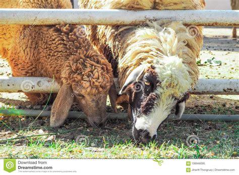 Sheeps fotografering för bildbyråer. Bild av medf8ort ...