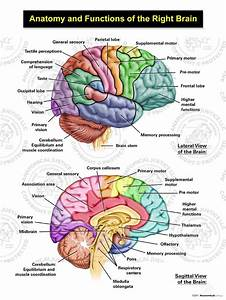 Anatomy And Functions Of The Right Brain