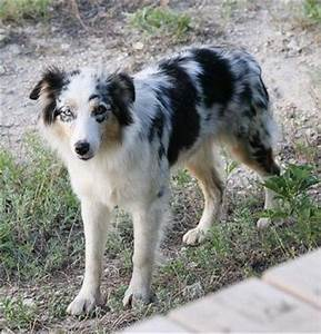 1000+ images about Border Collies and Australian Shepherds ...
