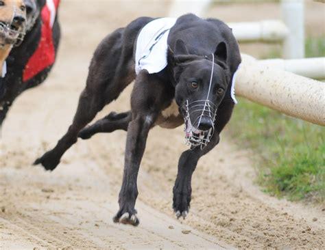 fastest of year greyhound star news from the greyhound