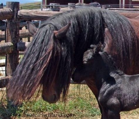 fell ponies pony