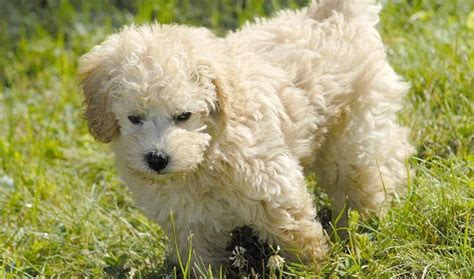 poodle   heritage schnoodles   promoted