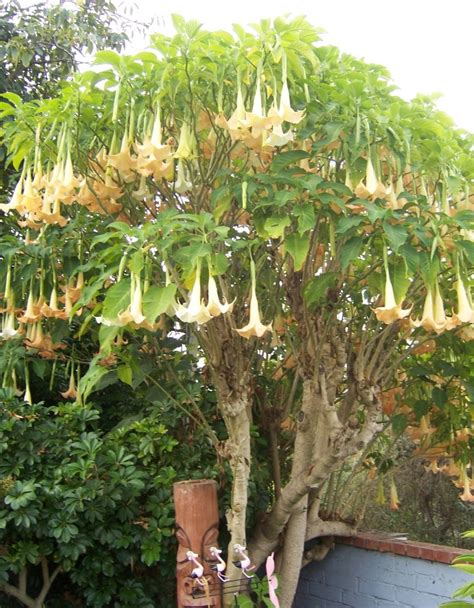 trumpet tree the 2 minute gardener october 2011