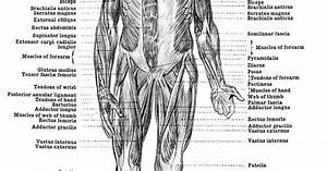 Human Anatomy Muscles - Muscles Of The Body