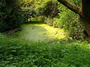 Pond Covered with Algae
