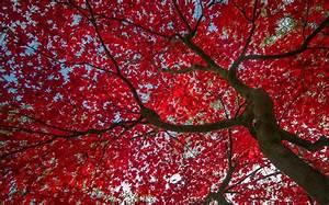 Rote Blätter Baum : baum rote bl tter herbst himmel hd hintergrundbilder ~ Michelbontemps.com Haus und Dekorationen