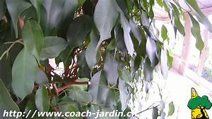 Comment Tailler Un Ficus : comment tailler un ficus benjamina youtube ~ Melissatoandfro.com Idées de Décoration