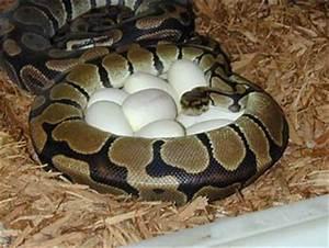 Baby Ball Pythons Feeding