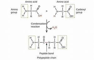 20 4 Amines And Amides  U2013 Chemistry