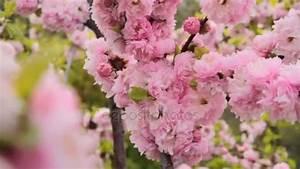 Sakura Baum Kaufen : fr hling bl hen ber sonnenuntergang himmel sch ne natur mit bl henden sakura baum und sonne ~ Frokenaadalensverden.com Haus und Dekorationen