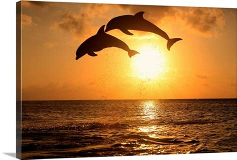 bottle nosed dolphins leaping  front   sunset wall