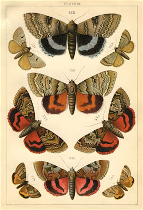 natural history print moths  graphics fairy
