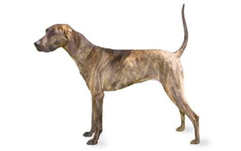 plott dog breed information pictures characteristics