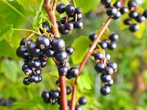 Schwarze Johannisbeere Pflanzen : schwarze johannisbeere 39 ben tirran 39 s ribes nigrum ~ Lizthompson.info Haus und Dekorationen