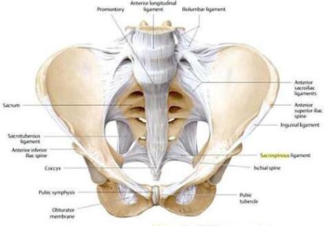 Pubic Bone Diagram by Pelvic Floor Anatomy Pelvic Floor Anatomy Pdf