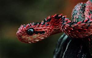 Red And Black Cobra Snake Beautiful Wallpaper HD Images One