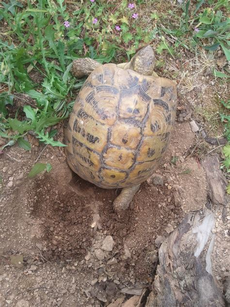 le pour tortue hermann le chauffante pour tortue 28 images une tortue battue sur la plage au liban pour des selfies