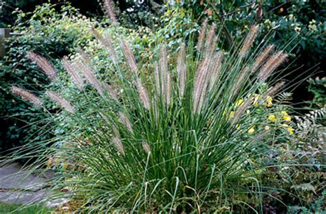 pennisetum alopecuroides hameln pennisetum alopecuroides hameln grass hameln rhs gardening