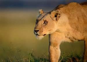 Borne Free Lyon : elsa the lioness the spirit of born free on world lion day national geographic society newsroom ~ Medecine-chirurgie-esthetiques.com Avis de Voitures