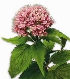 reino productos naturales distribuidora valeriana With como usar la raiz de valeriana como remedio contra el insomnio