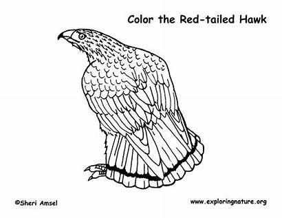 Hawk Coloring Tailed Pdf Exploringnature