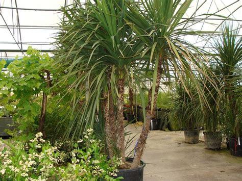 achat trachycarpus wagnerianus