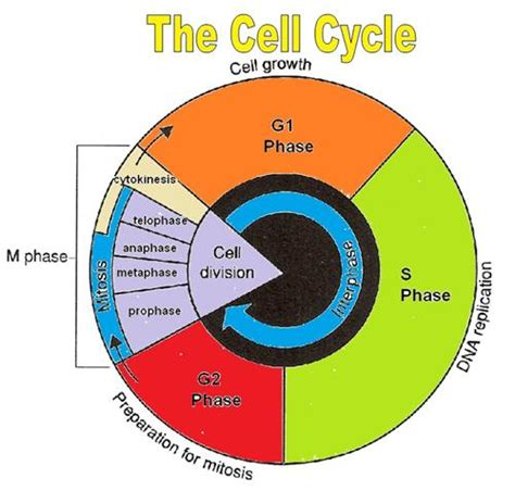 Cell Cycle Diagram  Printable Diagram