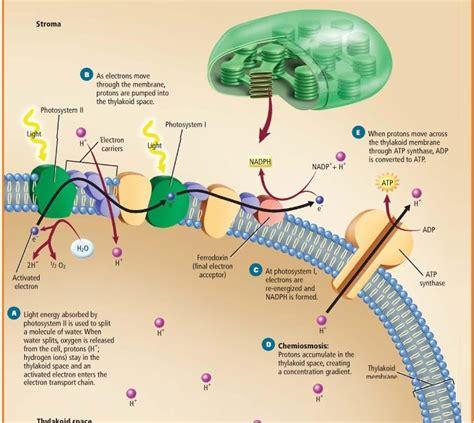 biologi gonzaga reaksi terang gelap fotosintesis