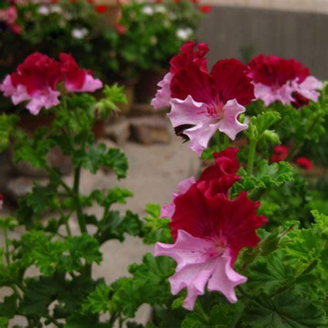 sale color geranium seeds perennial flower seeds