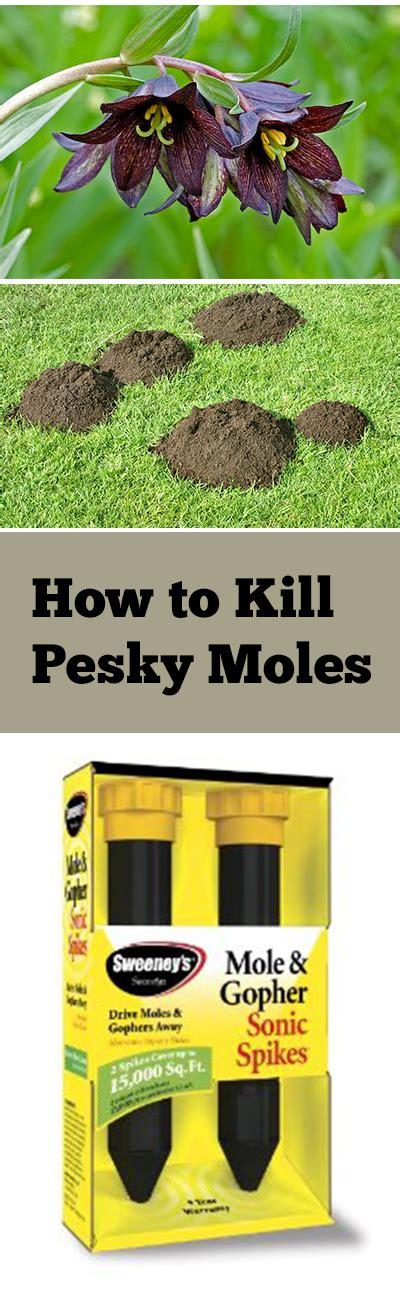 how to kill a mole how to kill pesky moles bless my weeds
