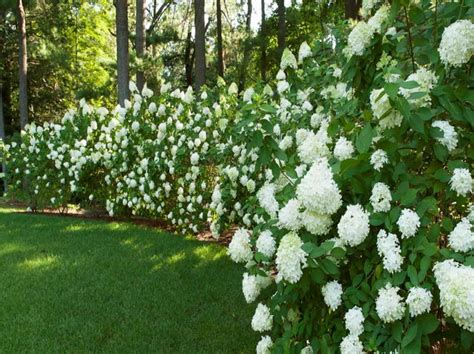 hedge with flowers gardening landscaping beautiful privacy hedges gardening ideas fast growing privacy shrubs